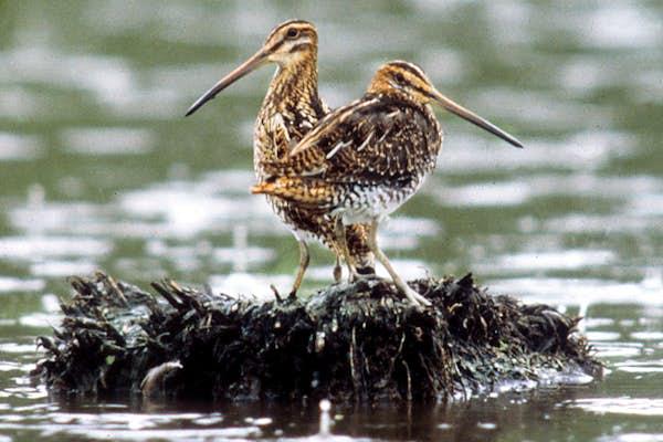 Bild - Fåglar vid nya våtmarker på Ryssberget