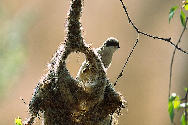 Bild - Pungmesen i Vattenriket